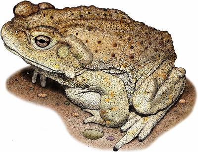 Photograph - Colorado River Toad by Roger Hall