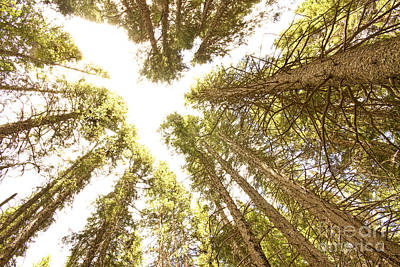 Corporate Art Photograph - Colorado Rocky Mountain Forest Ceiling by James BO  Insogna