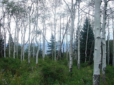 Photograph - Colorado White Birch Trees by Angela Bushman