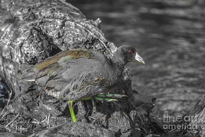 Coot Wall Art - Photograph - Colored Coot by Mitch Shindelbower