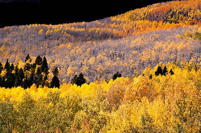 Western Bronze Photograph - Colorful Aspen Mixture by The Forests Edge Photography - Diane Sandoval