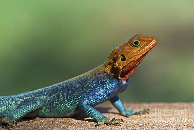 Agama Photograph - Colorful Awesomeness... by Nina Stavlund