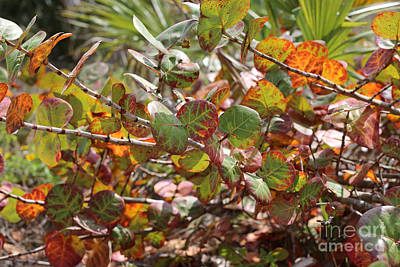 Grapes Photograph - Colorful Beach Sea Grapes by Carol Groenen