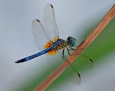 Photograph - Colorful Blue And Yellow Dragonfly Close-up On Navarre Beach by Jeff at JSJ Photography