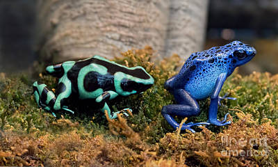 Photograph - Colorful But Deadly Poison Dart Frogs by Barbara McMahon
