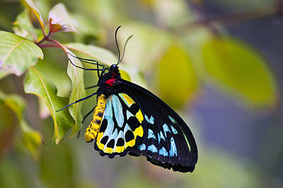 colorful butterfly Ornithoptera priamus Art Print
