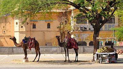 Photograph - Colorful Camels - Jaipur India by Kim Bemis