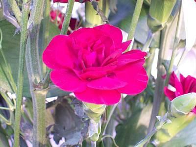 Colorful Carnation Art Print by Belinda Lee