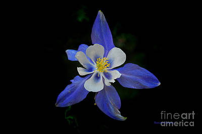 Photograph - Colorful Columbine by Randy Rogers