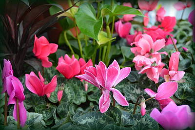 Photograph - Colorful Cyclamen by Carla Parris