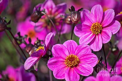 Season Photograph - Colorful Dahlia by Angela Doelling AD DESIGN Photo and PhotoArt