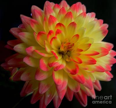 Colorful Dahlia Art Print by Kathleen Struckle