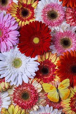 Gerbera Photograph - Colorful Daisy's And Butterfly by Garry Gay
