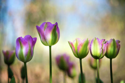 Colorful, Diffused Tulips (large Format Art Print by Sheila Haddad