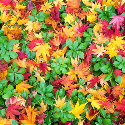 Photograph - Colorful Fall Leaves And Pachysandra Square by Marianne Campolongo