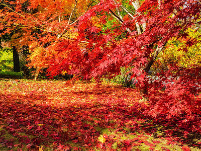 Photograph - Colorful Fall Leaves On Japanese Maple Trees by Marianne Campolongo