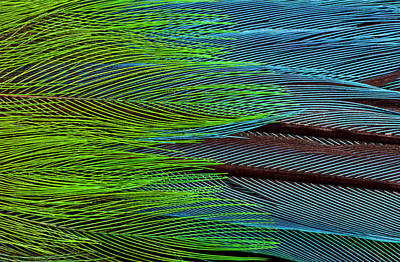 Broadbill Photograph - Colorful Feathers Of The Long-tailed by Darrell Gulin