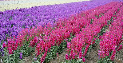 Photograph - Colorful Flower Fields by AJ  Schibig
