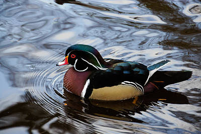Photograph - Colorful Forest Jewel - A Wood Duck In A Secluded Lake by Georgia Mizuleva