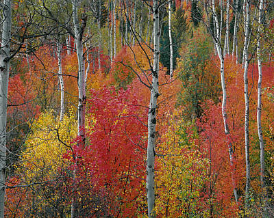 Aspen Forest Photograph - Colorful Forest by Leland D Howard