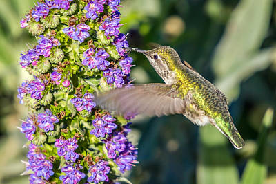 Photograph - Colorful Hummingbird Feeding by Pierre Leclerc Photography