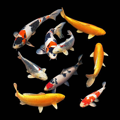 Photograph - Colorful Japanese Koi Square by Gill Billington