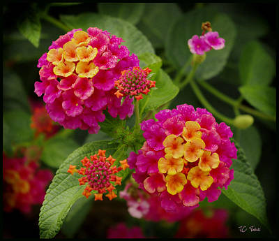 Photograph - Colorful Lantana  by James C Thomas