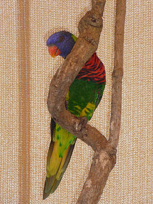 Photograph - Colorful Lorikeet Ll by Margie Avellino