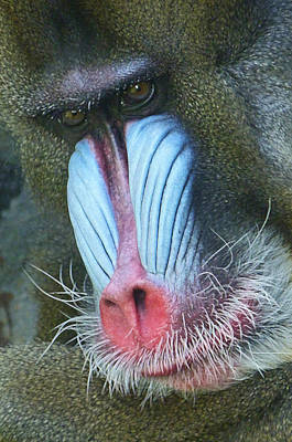 Photograph - Colorful Male Mandrill by Margaret Saheed