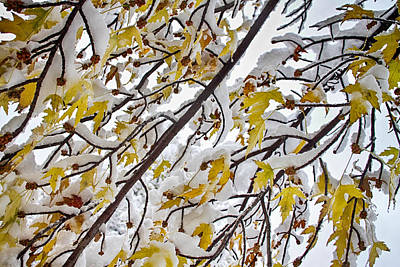 Photograph - Colorful Maple Tree Branches In The Snow 3 by James BO Insogna