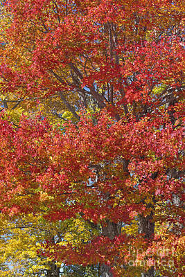 Photograph - Colorful Maples by Alan L Graham