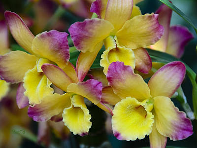 Photograph - Colorful Orchids by Penny Lisowski