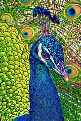 Photograph - Colorful Peacock by Jerry Gammon