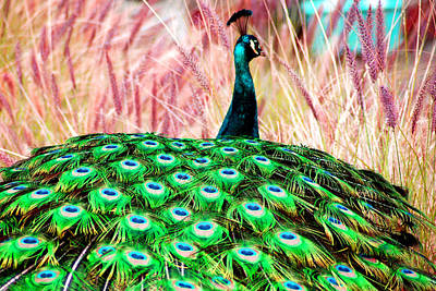 Art Print featuring the photograph Colorful Peacock by Matt Harang