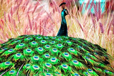 Colorful Peacock Art Print by Matt Harang