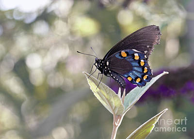 Battus Philenor Photograph - Colorful Pipevine Swallowtail Butterfly by Brandon Alms
