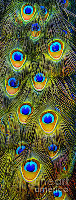 Photograph - Colorful Plumage Of Peacock by Lilianna Sokolowska
