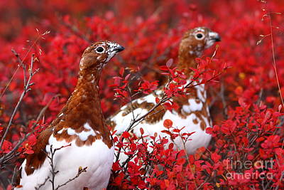 Photograph - Colorful Ptarmigan by Bill Singleton