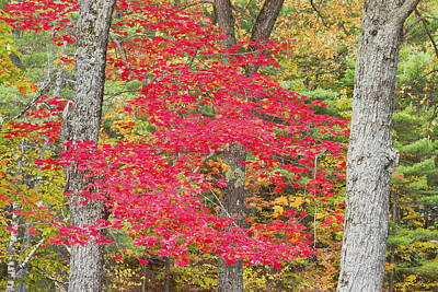 Photograph - Colorful Red Maple Tree In Fall by Keith Webber Jr