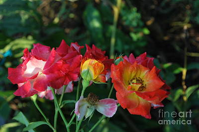 Photograph - Colorful Roses by Bob Sample