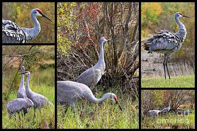 Photograph - Colorful Sandhill Crane Collage by Carol Groenen