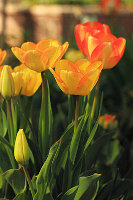 Photograph - Colorful Spring Tulips by Alan Vance Ley