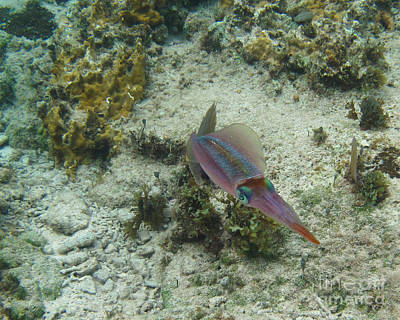 Photograph - Colorful Squid by Carol McCutcheon