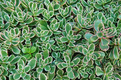 Photograph - Colorful Succulent Pattern by Kate Sumners