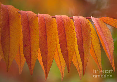 Rhus Photograph - Colorful Sumac Foliage In Fall by Heiko Koehrer-Wagner