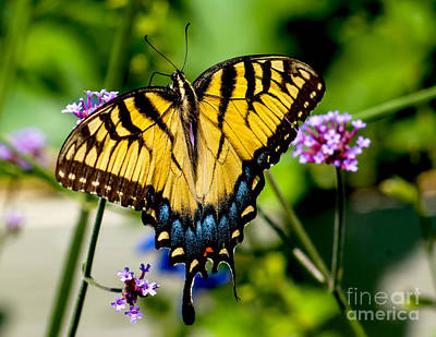 Photograph - Colorful Tiger Swallowtail Butterfly by Nick Zelinsky