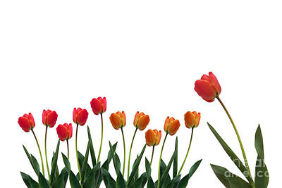 Tulips Online Photograph - Colorful Tulips by Boon Mee