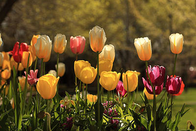 Photograph - Colorful Tulips In April by Alan Vance Ley