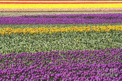 Winter Animals Rights Managed Images - colorful tulips in Holland Royalty-Free Image by Patricia Hofmeester