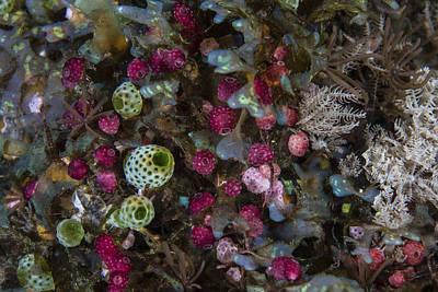 Colorful Tunicates Grow Among Coral Art Print
